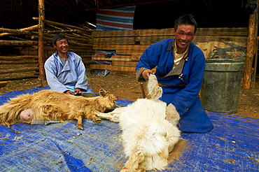 Mongolian nomads shearing cashmere off their goats, Province of Arkhangai, Mongolia, Central Asia, Asia