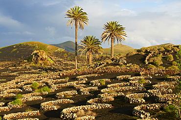 Vineyard near Yaiza, La Geria, Reserve of Biosphere, Lanzarote, Canary Islands, Spain, Europe