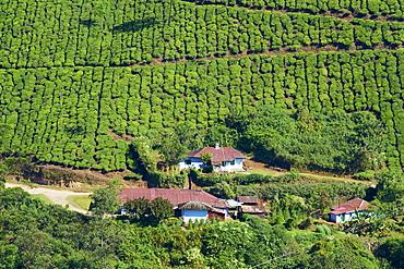 Tea plantation, Munnar, Kerala, India, Asia