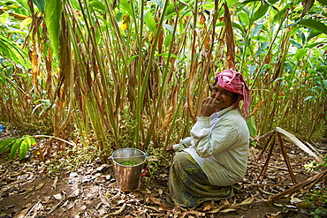 Collecting cardamom, Munnar, Kerala, India, Asia