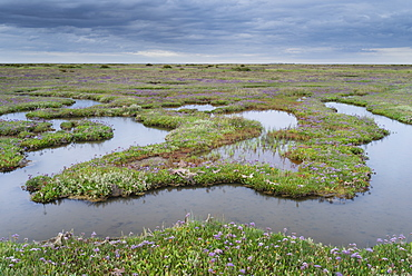 The Saltmarshes with sea lavender at Stiffkey, Norfolk, England, United Kingdom, Europe
