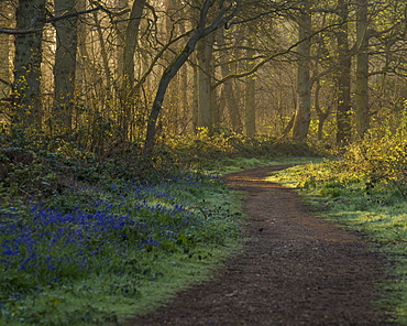 A view of the bluebells in the woodland at Blickling, Norfolk, England, United Kingdom, Europe