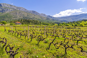 Vineyard and scenery near Gruda on a sunny spring day, Dunave, Croatia, Europe