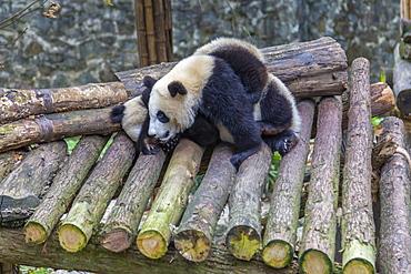 View of Giant Pandas in the Dujiangyan Panda Base, Chengdu, Sichuan Province, People's Republic of China, Asia