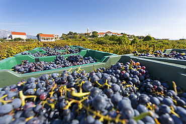 Grape crop harvest and vineyard, Lumbarda, Korcula, Dubrovnik-Neretva County, Dalmatia, Croatia, Europe