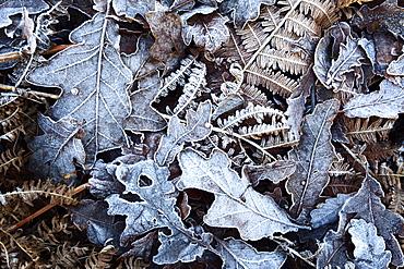 Frosty leaves including oak and bracken in Old Spring Wood near Summerbridge, North Yorkshire, England, United Kingdom, Europe