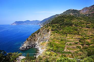 Terraced vineyards at Corniglia, Cinque Terre, UNESCO World Heritage Site, Liguria, Italy, Mediterranean, Europe