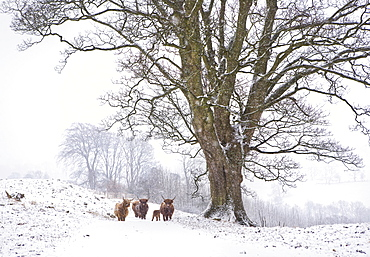 Highland cattle and tree in winter snow, Yorkshire Dales, Yorkshire, England, United Kingdom, Europe