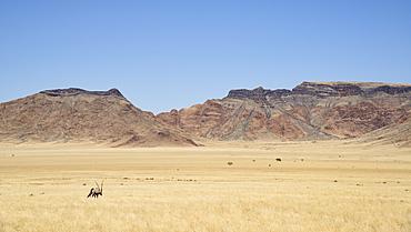 Gemsbok (Oryx gazella) roaming in the Namib-Naukluft Park, Namibia, Africa