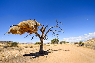 A particularly large social weaver bird nest growing in a dead acacia tree, NamibRand, Namib Desert, Namibia, Africa