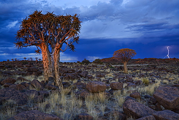 Lightning strikes amidst the rocks and Quiver trees at sunset in the Giant's Playground, Keetmanshoop, Namibia, Africa