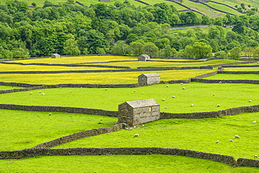 The barns, dry stone walls and buttercup meadows at Gunnerside, Swaledale, North Yorkshire, Yorkshire, England, United Kingdom, Europe