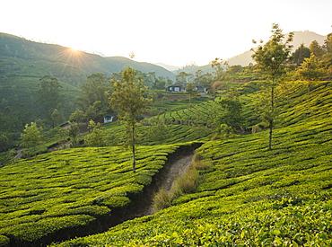 Tea Plantations near Munnar, Kerala, India, South Asia