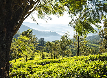 Tea Plantations near Munnar, Kerala, India, South Asia