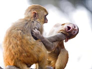 Monkeys at Pashupatinath Temple, Kathmandu, Nepal, Asia