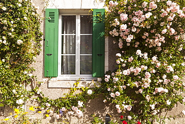 Roses cover a house in the village of Chedigny, Indre-et-Loire, Centre, France, Europe