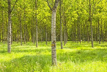 Rows of orderly trees near Fontaines-en-Sologne, Loir-et-Cher, Centre, France, Europe