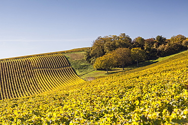 Autumn color in the vineyards of Sancerre, Cher, Centre, France, Europe