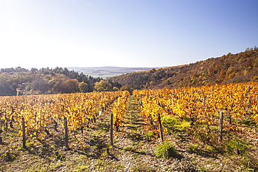 Autumn colour in the vineyards of Irancy, Yonne, Burgundy, France, Europe