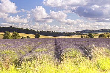 Lavender fields near to Snowshill, Cotswolds, Gloucestershire, England, United Kingdom, Europe