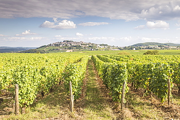 The vineyards of Sancerre, France. Known for its fine wines from grape varities such as pinot noir and sauvignon blanc, the vine