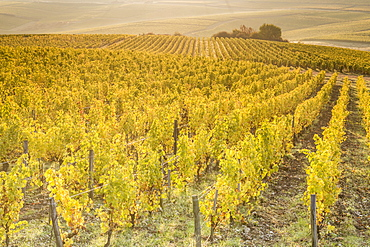 Dawn in the vineyards of Sancerre, Cher, Centre, France, Europe