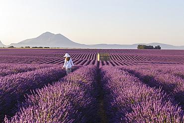 A young woman walks through lavender fields on the Plateau de Valensole, Alpes de Haute Provence, France, Europe