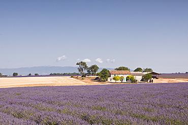 A house amongst lavender fields on the Plateau de Valensole, Alpes de Haute-Provence, Provence, France, Europe