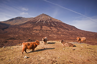 Highland cattle on the Isle of Skye in the Highlands, Inner Hebrides, Scotland, United Kingdom, Europe