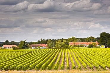 Vineyards near Chemery, Loir-et-Cher, Loire Valley, Centre, France, Europe