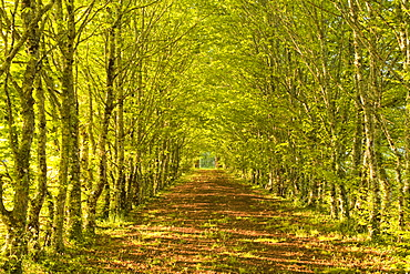 An avenue of trees in the Dordogne area of France, Europe