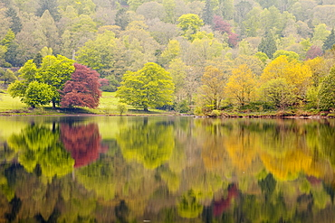 Trees reflected in the still waters of Grasmere in the Lake District National Park, Cumbria, England, United Kingdom, Europe