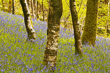 Bluebells in Millers Wood near to Colton in the Lake District National Park, Cumbria, England, United Kingdom, Europe