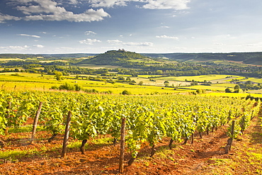 Vineyards near to the Beaux Village de France of Vezelay in the Yonne area, Burgundy, France, Europe