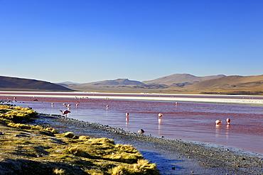 Flamingos on Laguna Colorada (Red Lagoon), Eduardo Avaroa Andean Fauna National Reserve, Southwest Highlands, Bolivia, South America