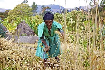Lady cutting wheat, Chencha, Dorze, Ethiopia, Africa