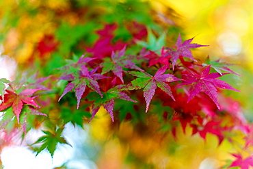 Japanese maple tree changing colour in autumn at Eikando temple in Kyoto, Japan, Asia