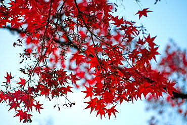 Red Japanese maple tree in autumn, Kyoto, Japan, Asia