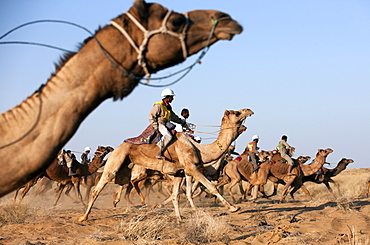 Camel race during the Desert Festival, Jaisalmer, India