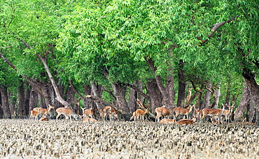Spotted deer at the Sundarbans, a UNESCO World Heritage Site and a wildlife sanctuary, Sundarbans, Khulna, Bangladesh