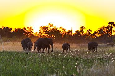 African Elephants in the evening, Okavango Delta Botswana