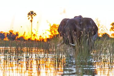 African Elephants at dawn, Okavango Delta Botswana