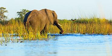 African Elephant in water, Okavango Delta Botswana