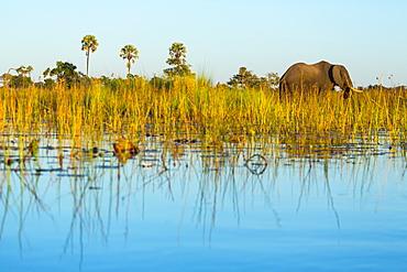 African Elephant, Okavango Delta Botswana