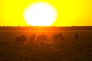 Wildebeest at dusk, Kalahari Botswana