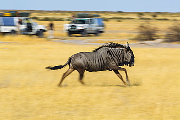 Wildebeest running and tourists, Kalahari Botswana