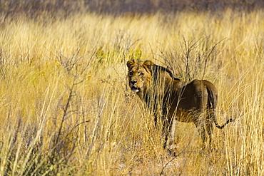Lion in tall grass, Kalahari Botswana