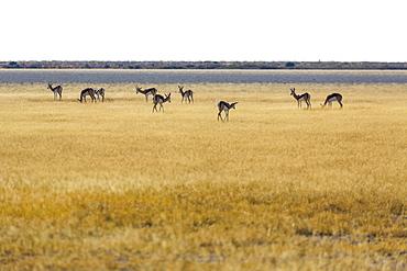 Springboks, Kalahari Botswana