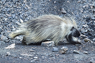 American porcupine on pebbles, Denali NP Alaska