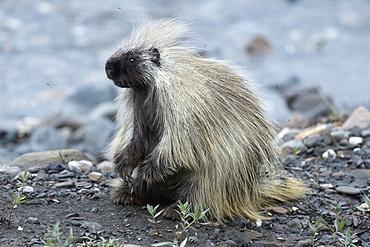 American porcupine on bank, Denali NP Alaska